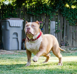 xl american bully puppies for sale in florida