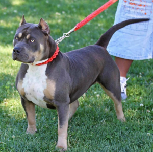xl pitbulls for sale in florida